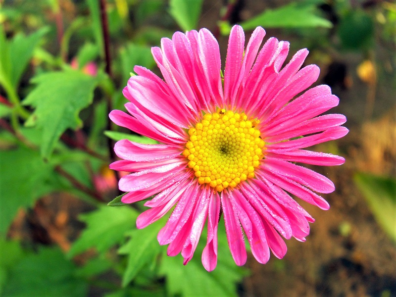 Many aster varieties are sensitive to moisture.
