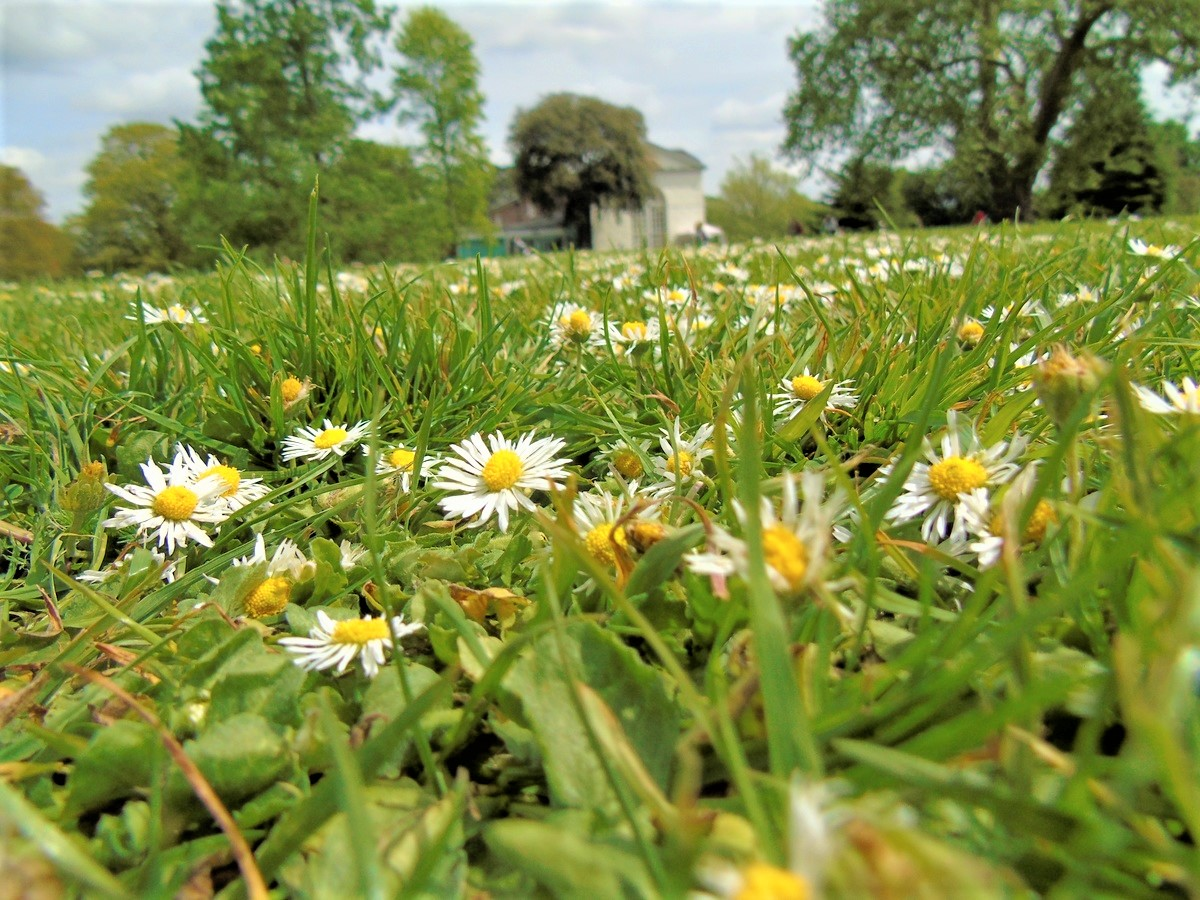 Grow Your Own Chamomile Flowering Lawn