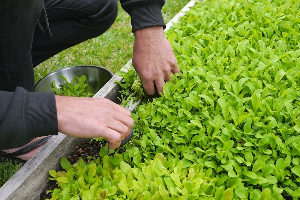 How to Grow Your Own Microgreens Indoors