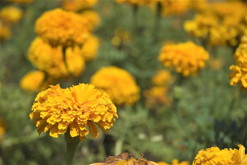 Marigolds are a must for the well-planned summer garden.