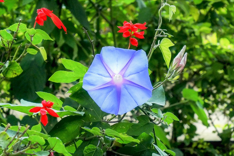 Grow Your Own Morning Glory Flowers