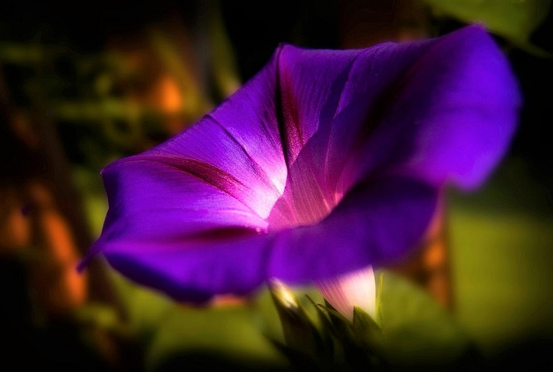 In nature's magnificent show, the morning glory undergoes costume changes like no other floral diva.