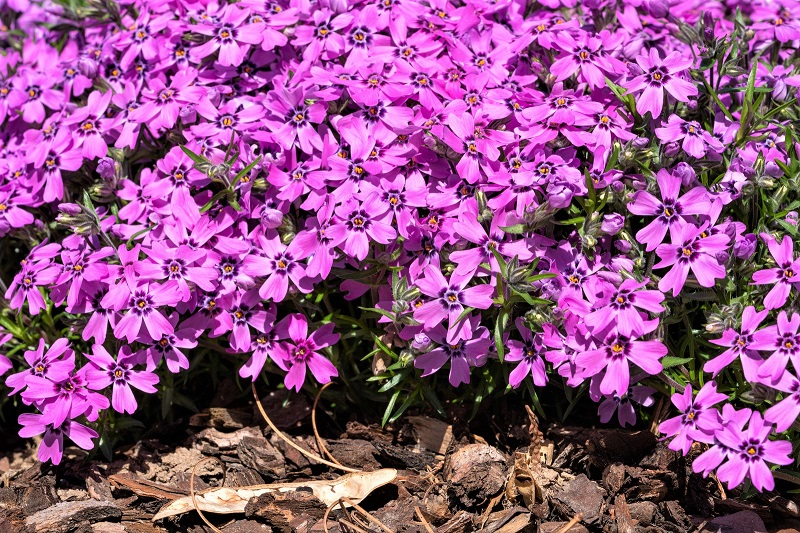 If you intend to plant just one flower this summer, you should at least consider growing phlox.