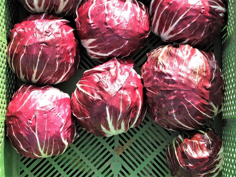 You should harvest radicchio heads after a frost as the cold tends to sweeten their flavor.