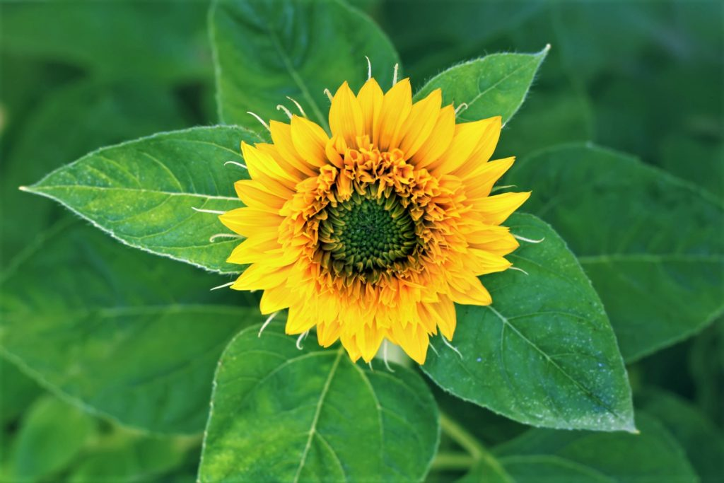 The sunflower is not just a plant but a kind of symbol for summer, nature, and innocence.