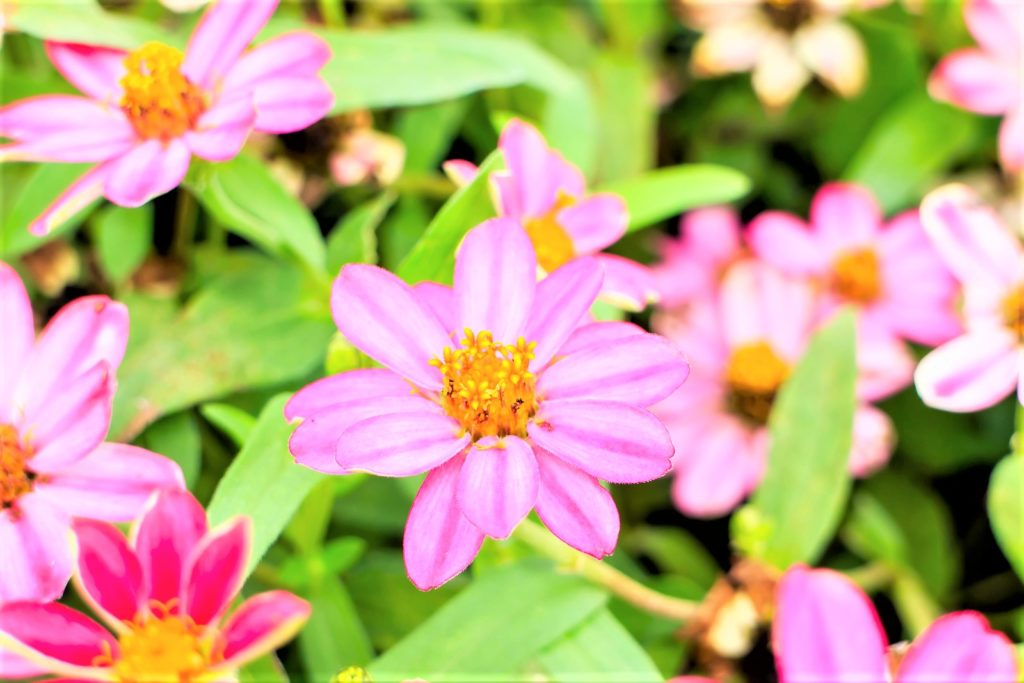 The tough but beautiful zinnia requires no pampering.