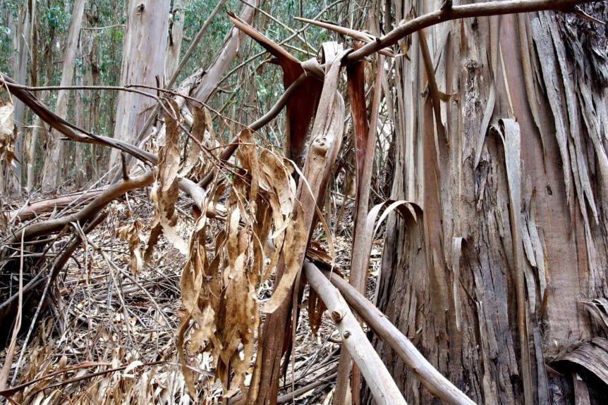 Loose or papery bark adds to flammability.