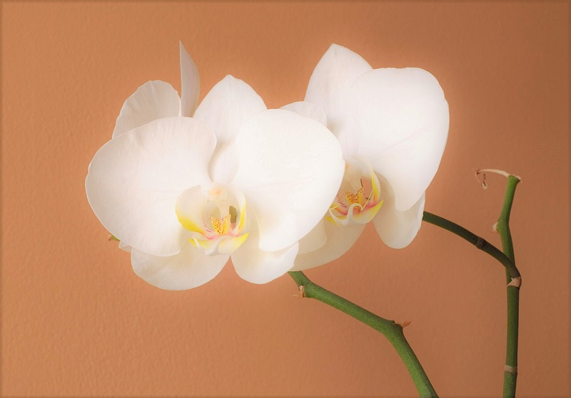 The Moth Orchid is easy to maintain and is available in an extensive array of colors.