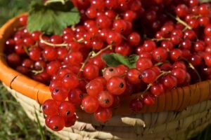 How to Plant and Grow Your Own Currants