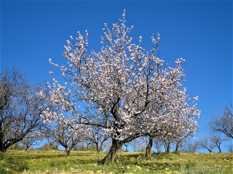 Some 82 percent of the world's almonds come from California.
