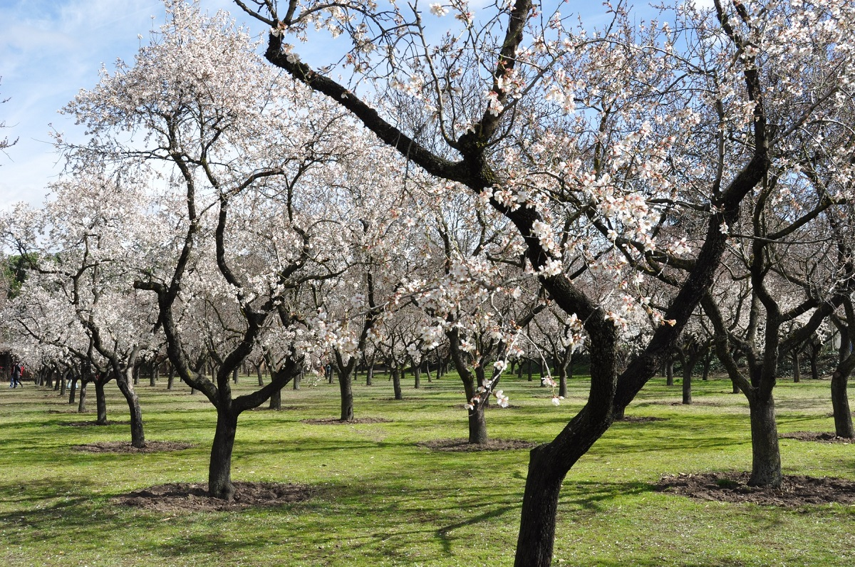 Sweet as a Nut: Grow Your Own Almond Tree
