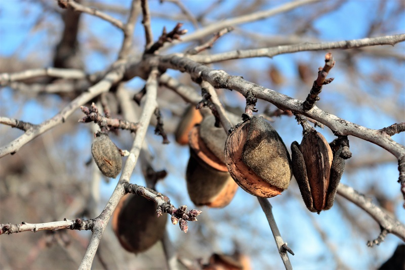 Harvest your almonds when 90 percent of the hulls on the tree have split open to expose the shells inside.