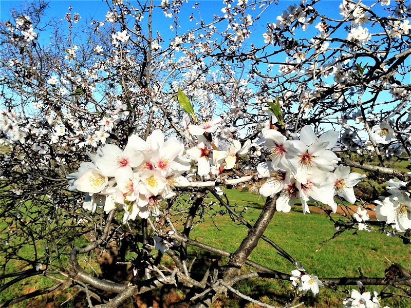 The almond tree produces spectacular blossoms before filling out with foliage in early spring.