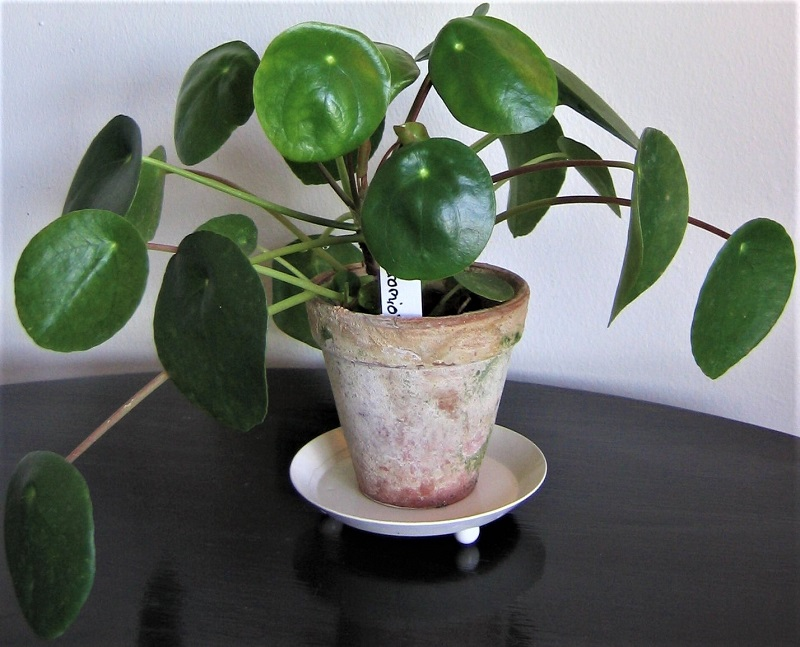 The Chinese Money Plant is both beautiful and easy to grow and maintain.