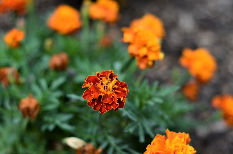 Marigolds are resilient garden plants.