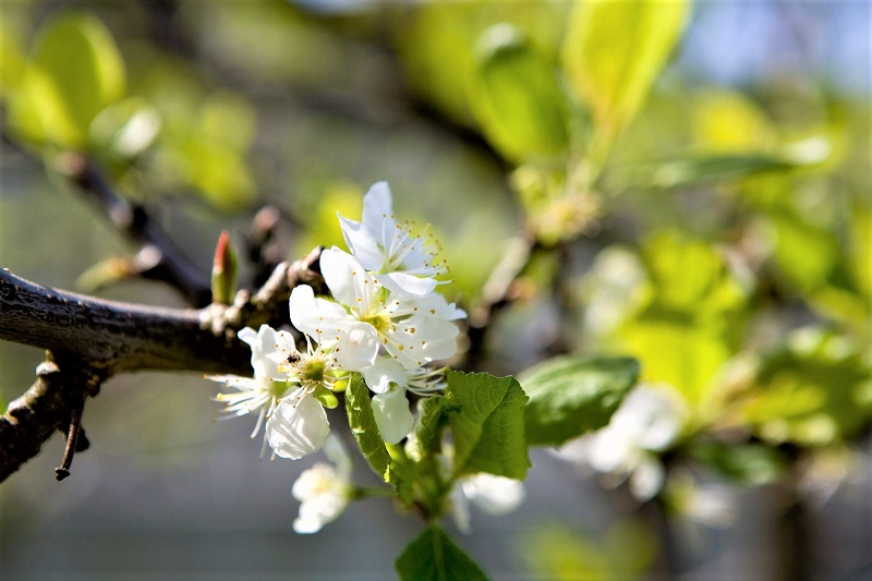Plums are some of the earliest crops to flower in the fruit garden.