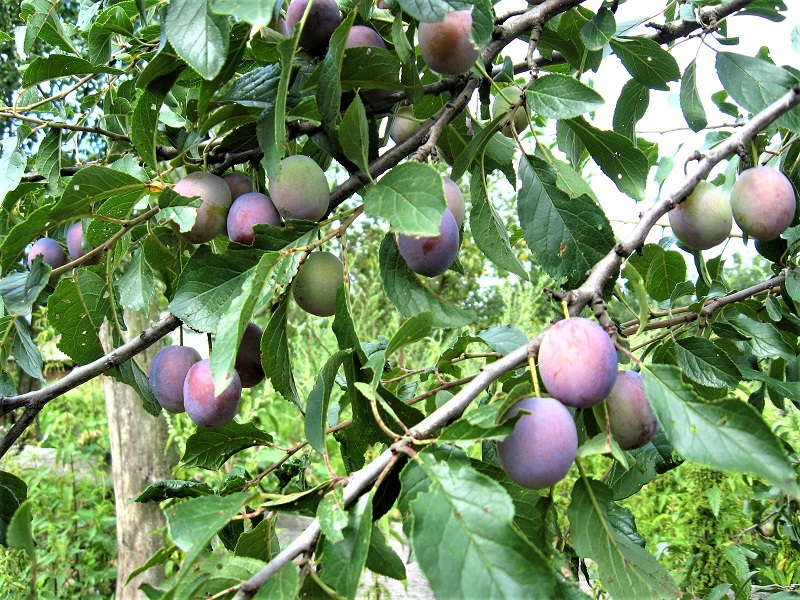 Some plums are good for eating fresh, others are best for jams, jelly, and cooking.