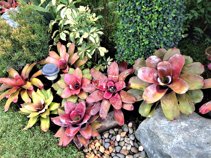 Bromeliad plants will provide an exotic dash to your home and bring a sense of the tropics and sun-drenched climates.