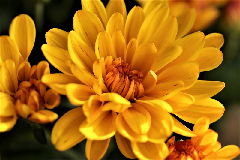 Chrysanthemums bloom in just about every color of the rainbow.
