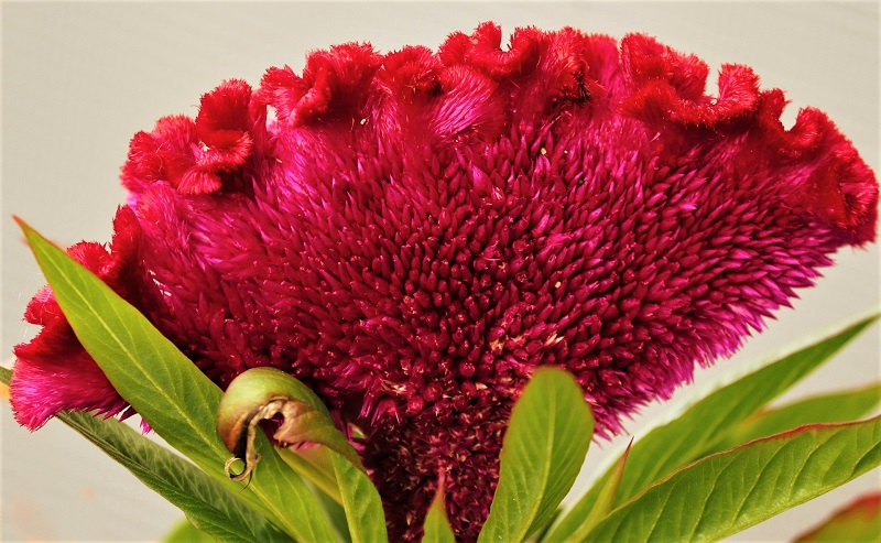 The cockscomb flower is an excellent annual addition to your garden.