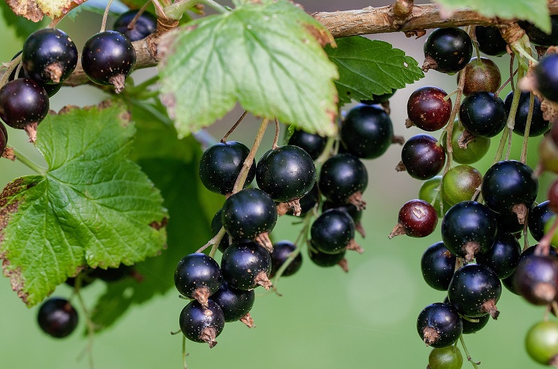 Blackcurrants are best grown as bushes.