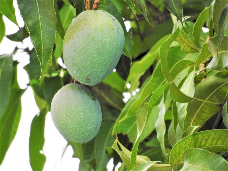 The mango tree grows year-round in frost-free tropical, sub-tropical, and warm temperate climates.