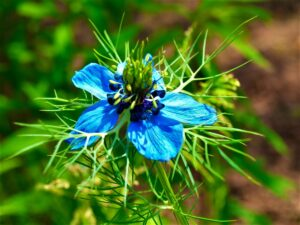 How to Grow Love-in-a-Mist
