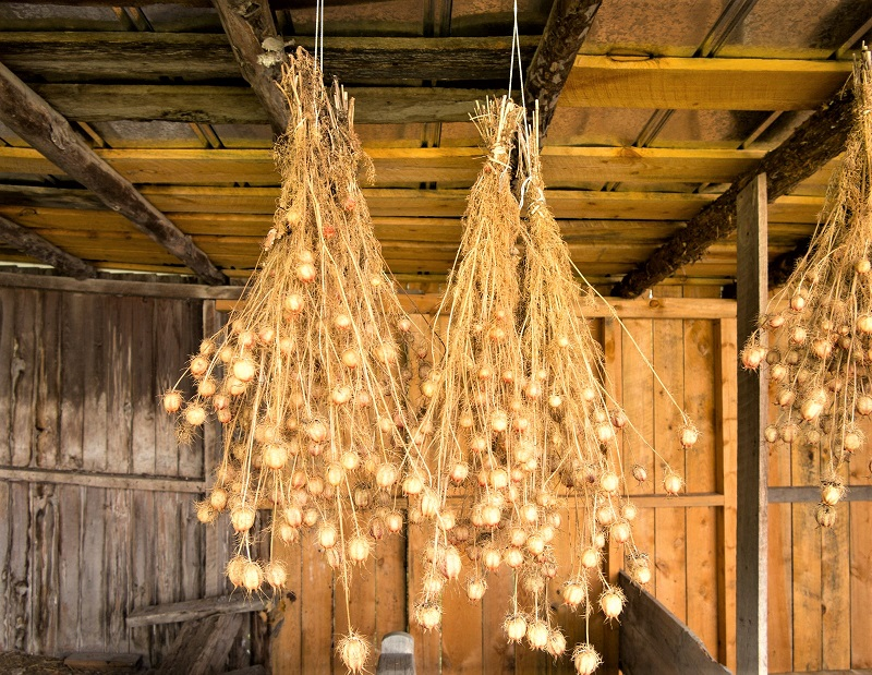 To dry the seed pods, harvest them while the stripes are still visible. Hang the pods upside down in a dry, dark, airy place.