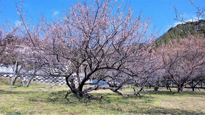Plum trees need full sun to produce sweet fruit.