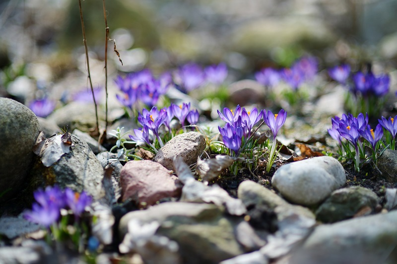 You can start preparing your garden and planting seeds as soon as crocuses start poking through the grass.