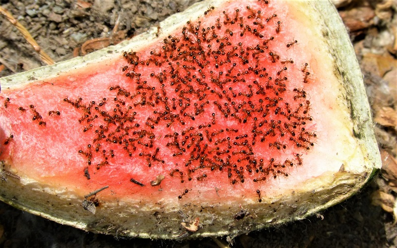 Ants will feed on the dead bugs, beetles, leaves, and other organic material.