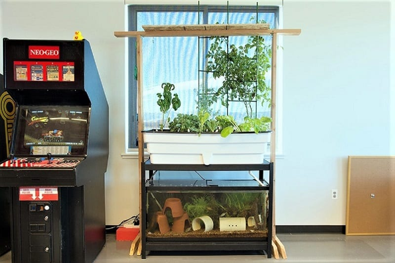 Starting an aquaponic garden involves some work. But once you have the system started, an aquaponic garden requires little in the way of maintenance.