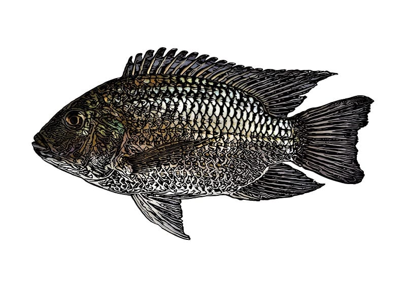 Tilapia are easy to grow, simple to care for, and hardly ever fall to disease.